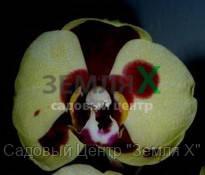 Орхидея Bananarama (Ø 12 см, h 70 см)