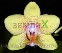 Орхидея Brother Golden Treasure (Ø 12 см, h 70 см)