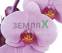 Орхидея Charleston (Ø 12 см, h 70 см)