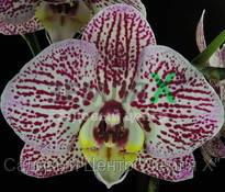 Орхидея Chian Xen Piano (Ø 12 см, h 70 см)