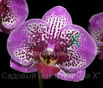 Орхидея Chian Xen Violin (Ø 12 см, h 70 см)