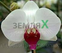 Орхидея Christa Wichmann (Ø 12 см, h 70 см)