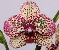 Орхидея Cleopatra (Ø 12 см, h 70 см)