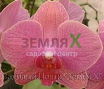 Орхидея Cowberry (Ø 12 см, h 70 см)