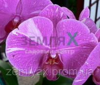 Орхидея Chian-Huey Red Rose (Ø 12 см, h 70 см)