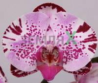 Орхидея Diamond Sky (Ø 12 см, h 70 см)