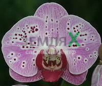 Орхидея Elegant Beauty (Ø 12 см, h 70 см)