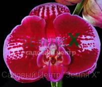 Орхидея Elegant Galaxy (Ø 12 см, h 70 см)