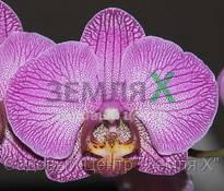 Орхидея Etherege Princess (Ø 12 см, h 70 см)