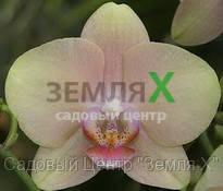 Орхидея Dusty Sunset (Ø 12 см, h 70 см)