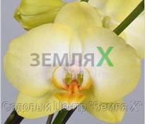 Орхидея Golden Jaguar (Ø 12 см, h 70 см)