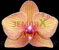 Орхидея Gold Rush (Ø 12 см, h 70 см)