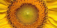 Етапи формування продуктивності рослин та урожайність посівів соняшнику