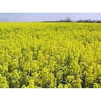 НПЦ 9800 семена оз.рапса Лембке
