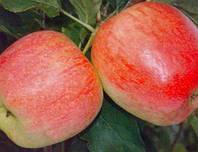 Саженцы яблони Целесте (М-9)