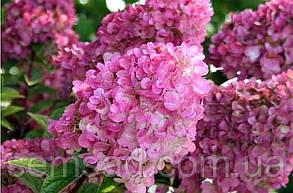 "Гортензия метельчатая"" Сандей фрейзи \  Hydrangea paniculata «Sundae Fraise»( саженцы 1 год), фото 2"