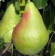 Саджанці груші Смерічка