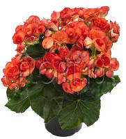 Комнатные цветы. Бегония Элатиор Orange stone