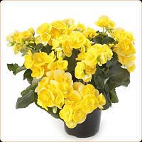 Комнатные цветы. Бегония Элатиор Yellow stone