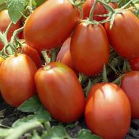 ДИАДЕМА F1 - семена томата детерминантного, 1 000 семян, Hazera, фото 1