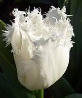 Тюльпан Honeymoоn, 12+