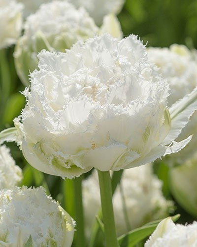 Тюльпан Snow Crystal, 11+