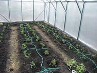 Восемь преимуществ капельного полива при выращивании помидорПодробнее: