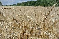Озимая пшеница ЛУПУС (Австрия) ЭЛИТА