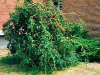 Рябина обыкновенная плакучая(Sorbus aucuparia Pendula) h190+