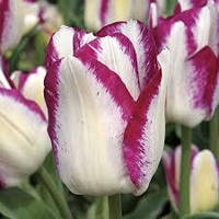 Тюльпан Affaire, 12+, фото 1