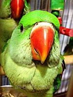 Александрийский попугай (Psittacula eupatria)