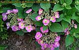 Гортензия крупнолистная Cotton Сandy (Хлопковая конфета)  4 года, фото 8