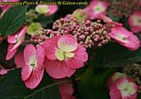 Гортензия крупнолистная Cotton Сandy (Хлопковая конфета)  4 года, фото 5