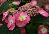 Гортензия крупнолистная Cotton Сandy (Хлопковая конфета) . новинка