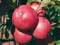 Саженцы яблони Элизе (ММ-106)