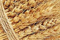 Засуха ускоряет начало уборки урожая озимых