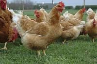 Ефективна годівля молодняку бройлерів – секрет високої продуктивності птахівництва