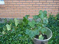 Плющ европейский, вечнозеленая лиана, фото 1