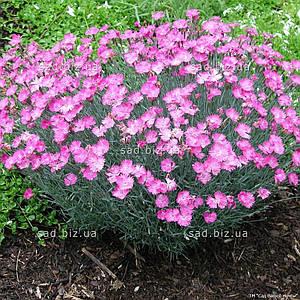 Гвоздика серовато-голубая 'Pink Jewel' в горшке 9х9х10 см