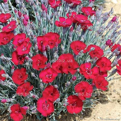 Гвоздика травянка 'Rubin' в горшке 9х9х10 см