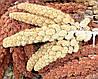 Зерно чумизы — прекрасный корм для птицы. 5шт