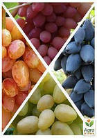 "Комплект саженцев винограда ""Multicolored lady figners"""
