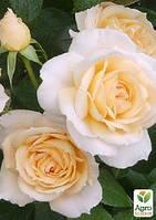"Роза флорибунда ""Lions Rose"" (саженец класса АА+) высший сорт"