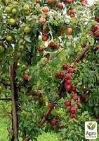 """Эксклюзив! Дерево-сад Яблоня """"Чемпион+Гала Маст+Голден Делишес"""""""