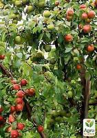 "Эксклюзив! Дерево-сад Яблоня ""Лигол+Айдаред+Семеренко"""