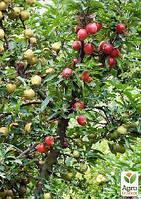 "Эксклюзив! Дерево-сад Яблоня ""Голден Спур+Кариот 7+Семеренко"""