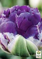 """Тюльпан """"Peony Purple"""" (размер 11/12 , крупный) 3шт в упаковке"""
