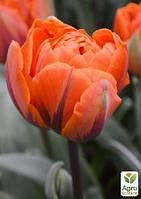 """Тюльпан """"Monte Orange"""" (размер 11/12 , крупный) 3шт в упаковке"""