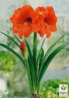 """Амариллис """"Orange Souvereign"""" (размер 26/28 , очень крупный) 1шт в упаковке"""