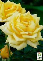 """Роза чайно-гибридная """"Беролина"""" (саженец класса АА+) высший сорт"""
